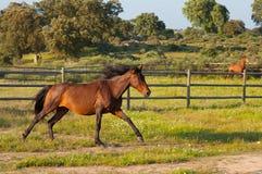 Cavalo que corre em um campo verde Fotos de Stock Royalty Free