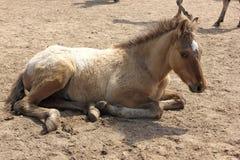 Cavalo que encontra-se na terra Imagens de Stock Royalty Free