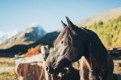 Cavalo que está em Altay Mountains foto de stock royalty free