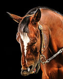 Cavalo que faz uma expressão Foto de Stock Royalty Free