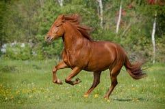Cavalo que galloing fotografia de stock