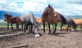 Cavalo que lambe o sal Fotos de Stock Royalty Free