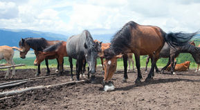 Cavalo que lambe o sal Imagens de Stock Royalty Free