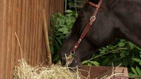 Cavalo que mastiga o feno video estoque