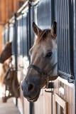 Cavalo que olha fora de uma tenda imagens de stock royalty free