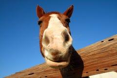 Cavalo que olha o Foto de Stock Royalty Free