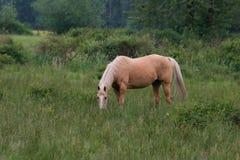 Cavalo que pasta Imagem de Stock Royalty Free