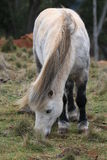 Cavalo que pasta Imagem de Stock