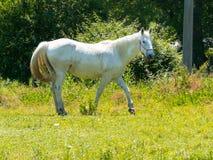 Cavalo que pasta em campos verdes Imagens de Stock Royalty Free
