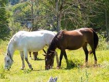 Cavalo que pasta em campos verdes Fotos de Stock