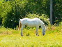 Cavalo que pasta em campos verdes Imagem de Stock Royalty Free