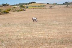 Cavalo que pasta em um campo durante o dia muito quente Andalucia, a Andaluzia, Espanha europa foto de stock royalty free
