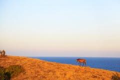 Cavalo que pasta em um pasto litoral, Bulgária Fotos de Stock