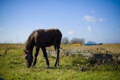 Cavalo que pasta em um pasto na vila Foto de Stock Royalty Free