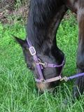 Cavalo que pasta no arquivado Fotografia de Stock