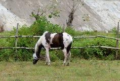 Cavalo que pasta no campo de grama Fotos de Stock Royalty Free