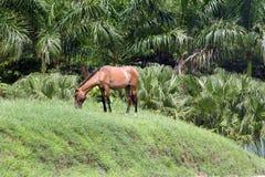 Cavalo que pasta no monte Fotos de Stock Royalty Free