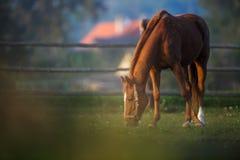 Cavalo que pasta no pasto imagens de stock royalty free