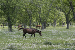 Cavalo que pasta no pasto Foto de Stock Royalty Free