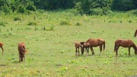 Cavalo que pasta no prado verde perto da floresta no dia ensolarado Cavalos do rebanho que pastam no pasto Os animais de exploraç video estoque