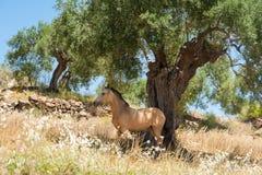Cavalo que procura um abrigo do sol em um dia muito quente sob uma oliveira no pomar verde-oliva Andalucia, a Andaluzia spain eur fotografia de stock royalty free