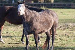 Cavalo que puxa a cara engraçada Fotos de Stock