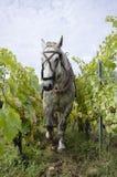 Cavalo que trabalha em um vinhedo, Apremont, couve-de-milão, França imagens de stock royalty free