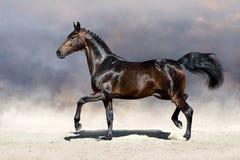Cavalo que trota no deserto Fotografia de Stock