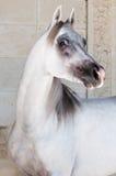 Cavalo árabe branco Fotografia de Stock Royalty Free