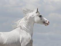 Cavalo árabe branco Imagens de Stock Royalty Free