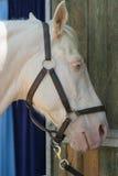 Cavalo árabe e egípcio Foto de Stock Royalty Free