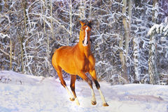 Cavalo árabe no inverno Fotografia de Stock Royalty Free