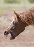 Cavalo - retrato Fotografia de Stock Royalty Free