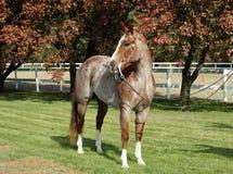 Cavalo roan vermelho Fotos de Stock Royalty Free