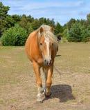 Cavalo ruivo bonito Fotografia de Stock