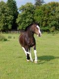 Cavalo Running Imagens de Stock