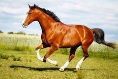 Cavalo running do puro-sangue Fotos de Stock Royalty Free