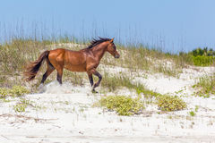 Cavalo running na ilha de Cumberland imagens de stock royalty free