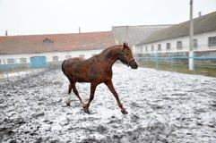 Cavalo running no blizzard da neve foto de stock royalty free