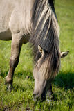 Cavalo selvagem Fotos de Stock Royalty Free