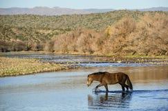 Cavalo selvagem Fotos de Stock