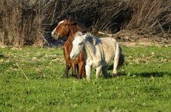 Cavalo selvagem Imagens de Stock Royalty Free