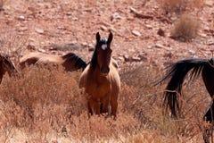 Cavalo selvagem de Courious Imagem de Stock