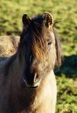 Cavalo selvagem de Duelmener Fotografia de Stock Royalty Free