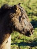 Cavalo selvagem de Duelmener Fotos de Stock Royalty Free