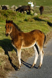 Cavalo selvagem do bebê da borda da estrada, Dartmoor. Fotografia de Stock Royalty Free