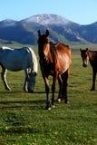 Cavalo selvagem em estepes asiáticos fotografia de stock