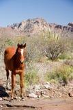 Cavalo selvagem na associação Fotos de Stock Royalty Free