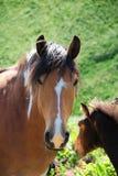 Cavalo selvagem na natureza Fotografia de Stock