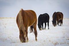 Cavalo selvagem no campo do inverno imagens de stock royalty free